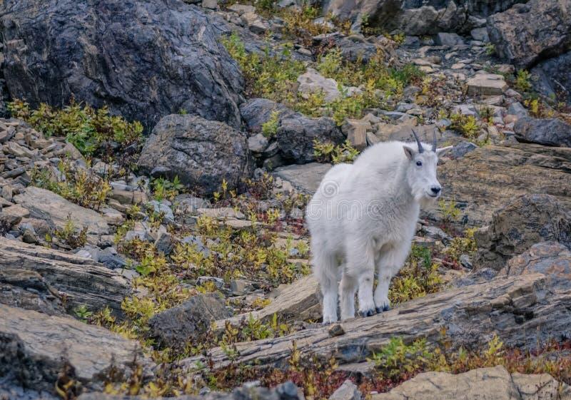 Chèvre rocheuse blanche photo libre de droits
