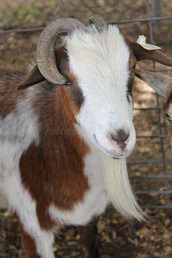 Chèvre sauvée dans le Texas du nord photographie stock libre de droits