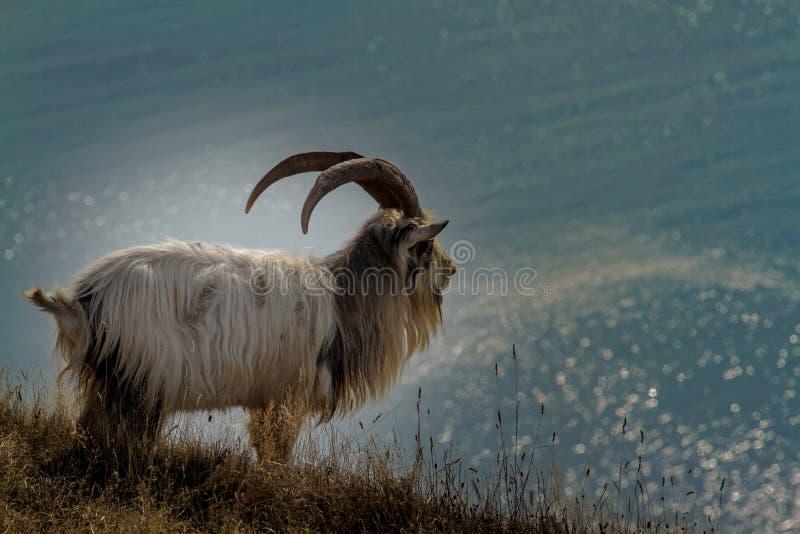 Chèvre sauvage images libres de droits