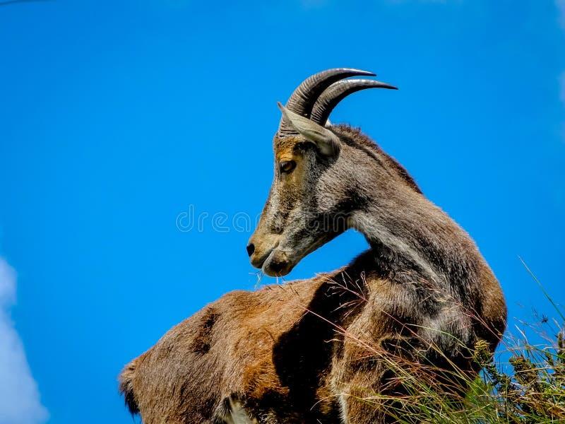 Chèvre sauvage dans les montagnes de Munnar, Kerala, Inde image stock