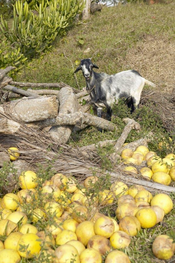 Chèvre se tenant devant le pamplemousse sur la terre en bières anglaises de ½ de ¿ de Valle de Viï, au Cuba central photos stock