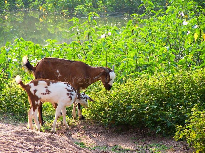 Chèvre sur l'herbe photos stock