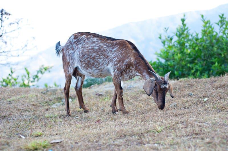 Chèvre sur la montagne photo libre de droits