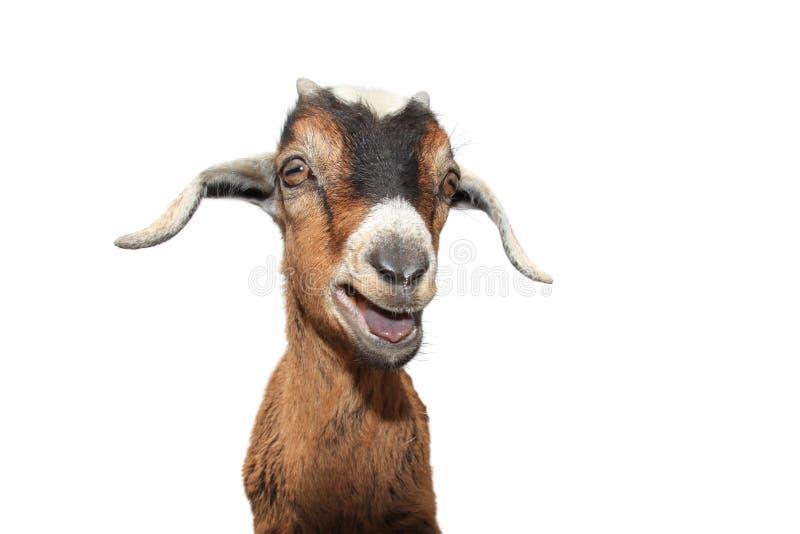 Chèvre sur le blanc image stock