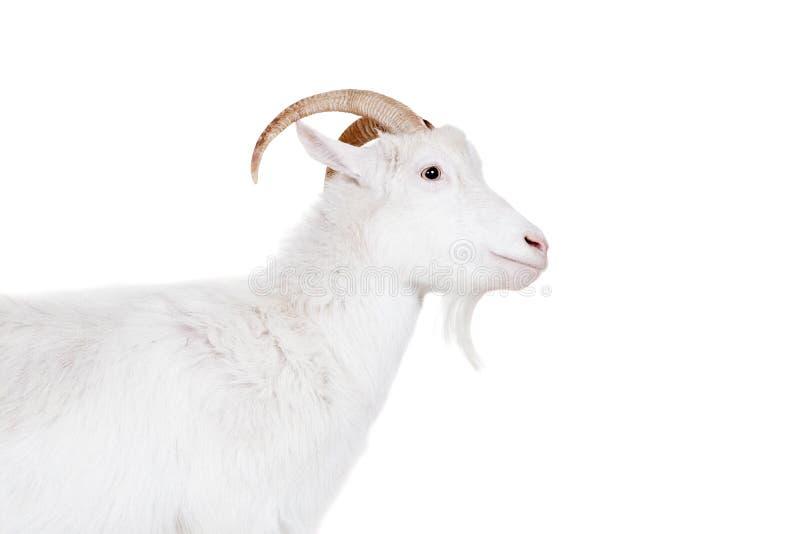 Chèvre sur un fond blanc images libres de droits