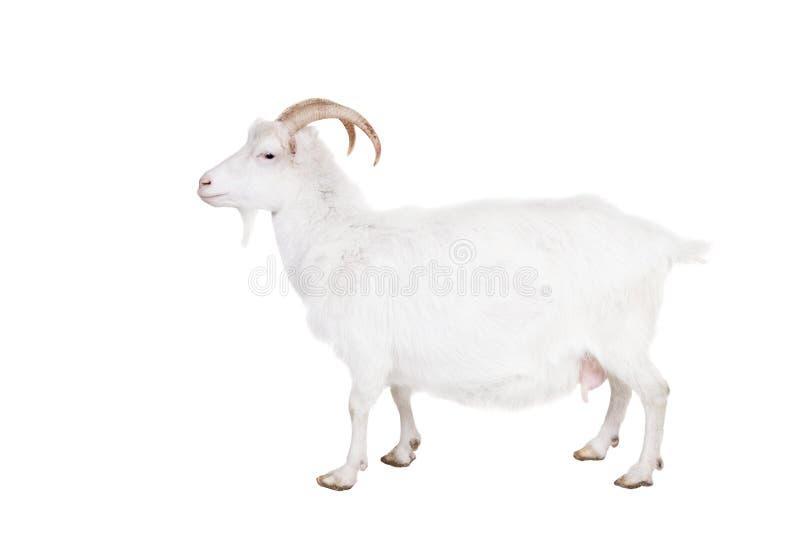 Chèvre sur un fond blanc photo stock