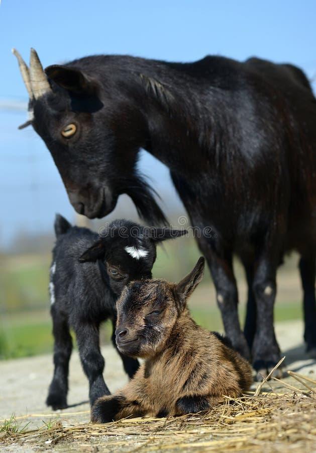 Chèvre trois images stock