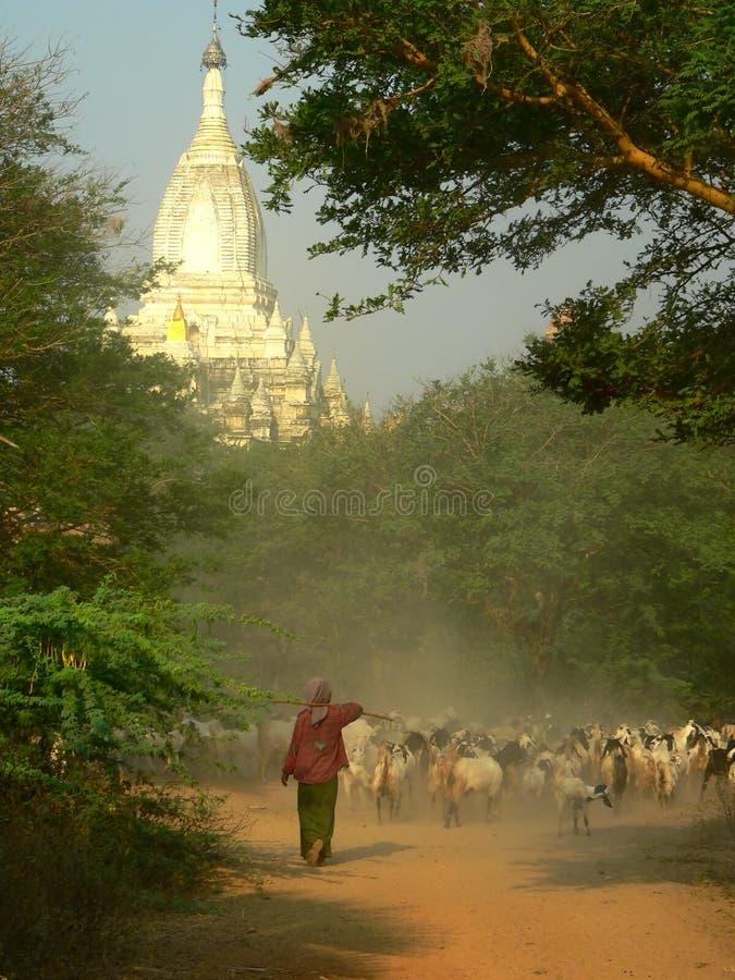 Chèvre vivant en troupe, zone archéologique de Bagan, site d'héritage. Myanmar (Birmanie) photos libres de droits