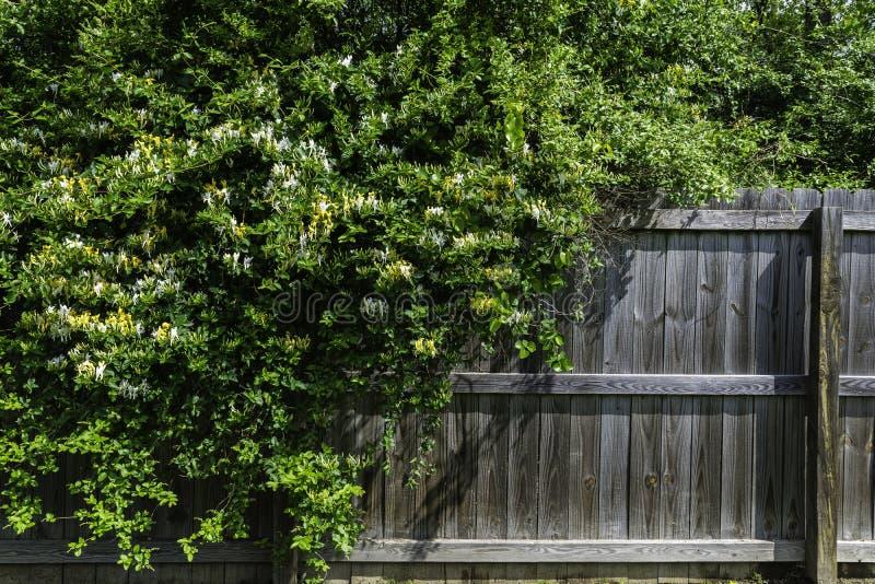 Chèvrefeuille jaune et blanc sauvage se renversant au-dessus d'une barrière photographie stock libre de droits