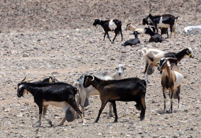 Chèvres à une ferme images stock