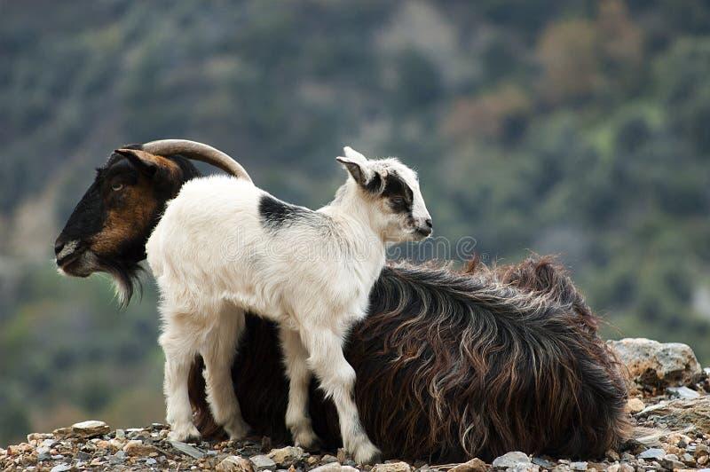 Chèvres photographie stock