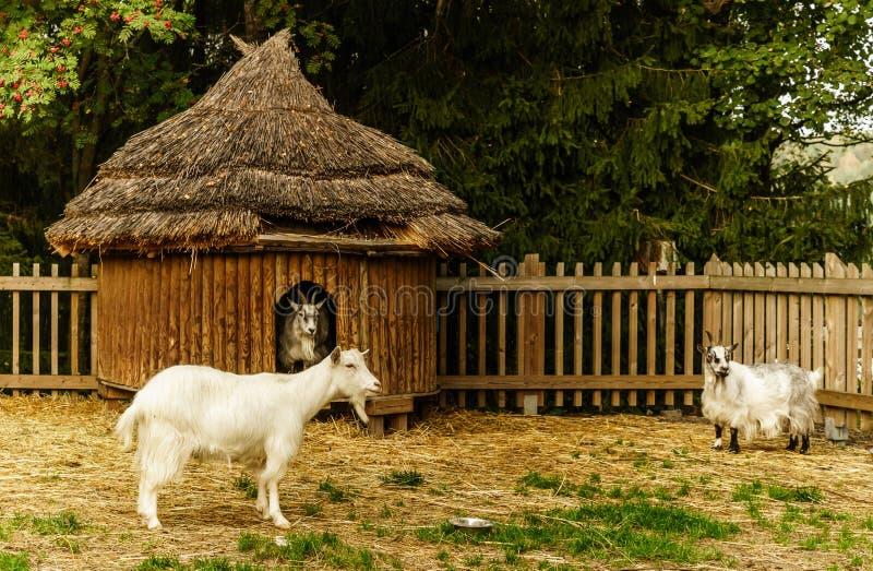Download Chèvres image stock. Image du europe, blanc, maison, gris - 45354609
