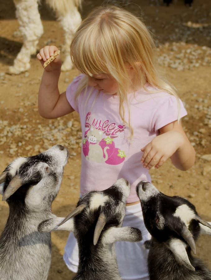 Chèvres alimentantes de petite fille image libre de droits