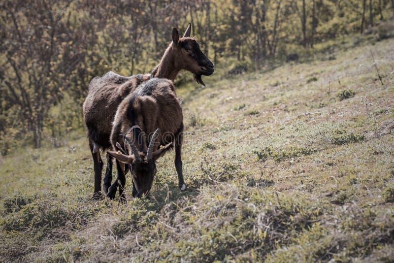 Ch?vres alpines sur le p?turage photographie stock libre de droits