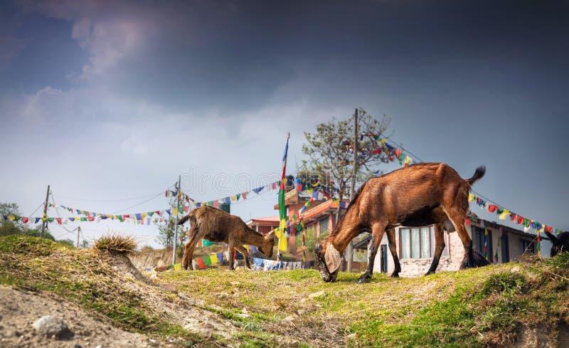 Chèvres au Népal images libres de droits
