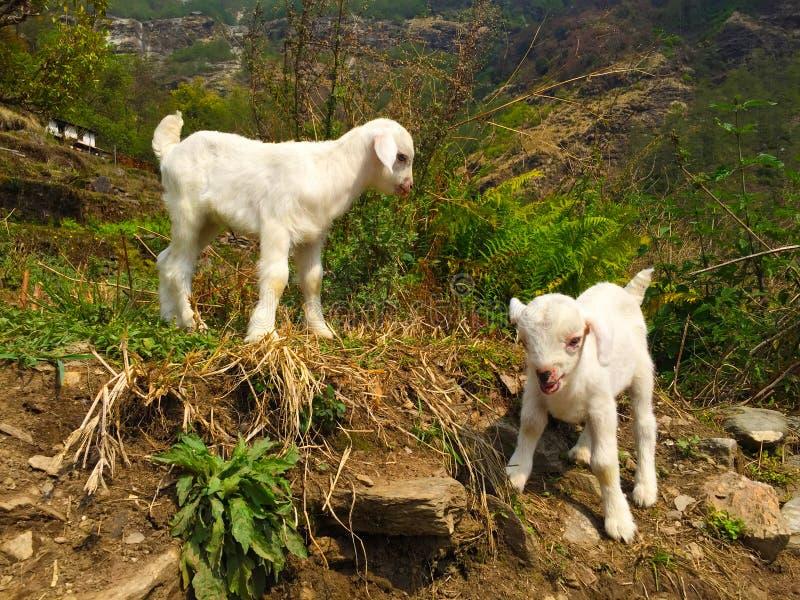Chèvres blanches de bébé dans un village rural, voyage en montagne de l'Himalaya images libres de droits