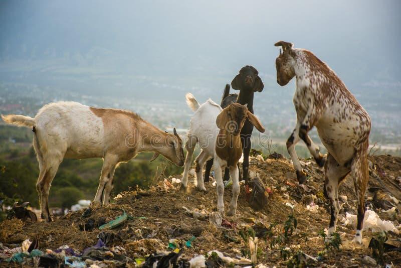 Chèvres combattre et trouver la nourriture dans les déchets images stock