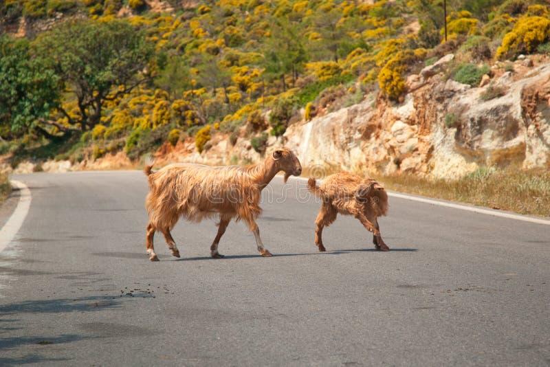 Chèvres crétoises sur la route images libres de droits