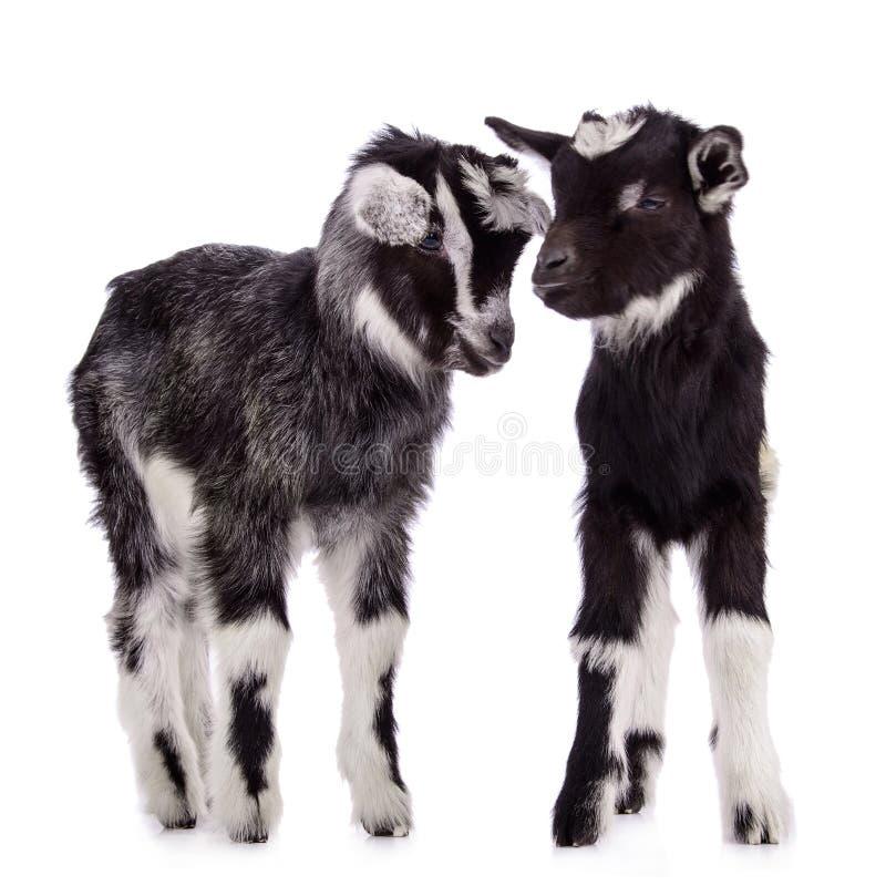 Chèvres d'animal de ferme d'isolement photographie stock libre de droits