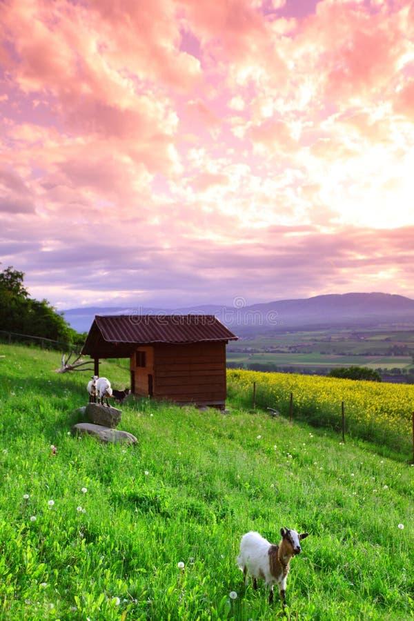 Chèvres dans l'herbe verte photographie stock libre de droits