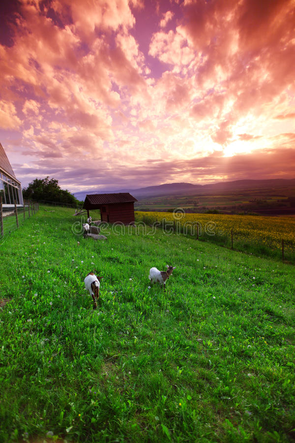 Chèvres dans l'herbe verte image stock