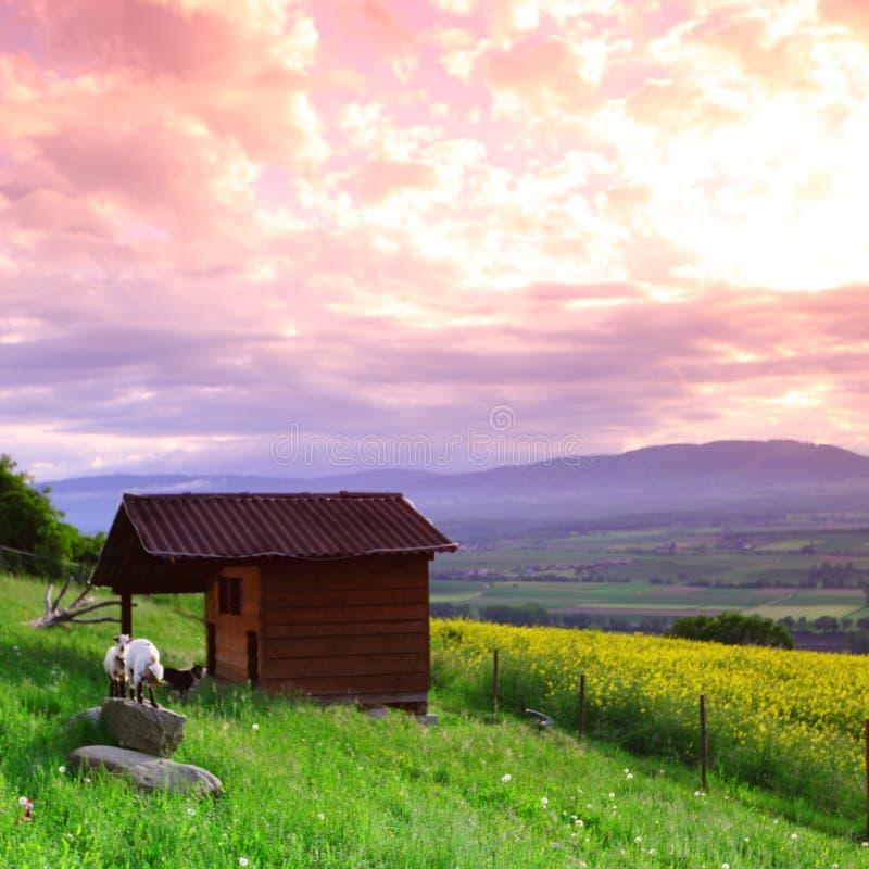 Chèvres dans l'herbe verte photos libres de droits