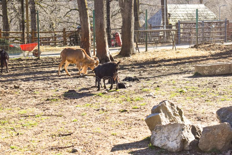 Chèvres dans la ferme de village dans une journée de printemps ensoleillée photographie stock