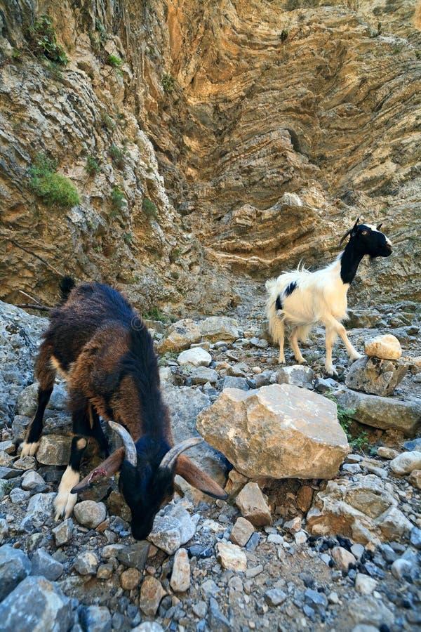 Chèvres dans la fissure d'Imbros, Crète image stock
