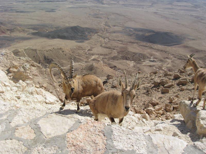 Chèvres dans le désert, bassin de Tarim, Xinjiang, Chine photos stock
