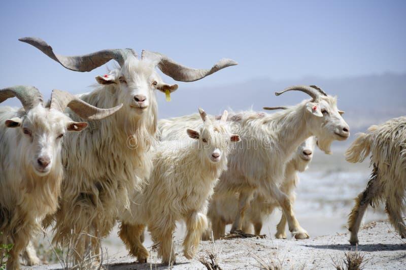Chèvres dans le désert, bassin de Tarim, Xinjiang, Chine images libres de droits
