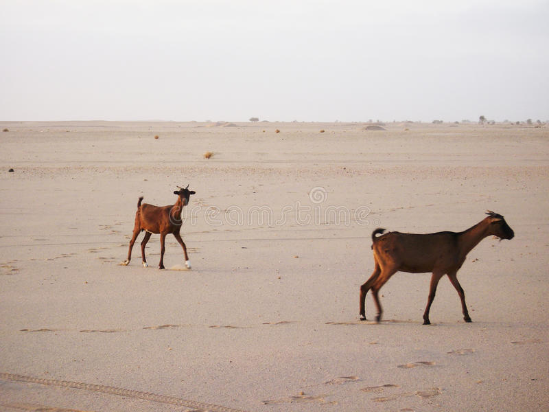 Chèvres dans le désert du Sahara images stock