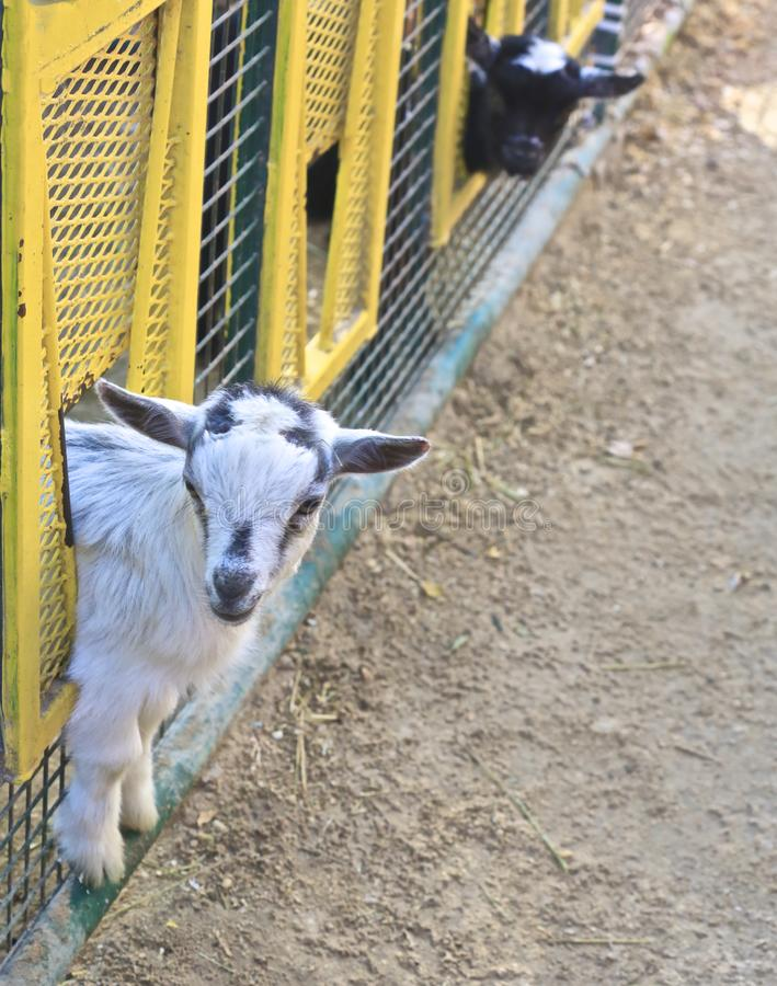 Chèvres de bébé photos stock