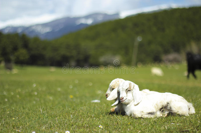 Chèvres de bébé photographie stock libre de droits