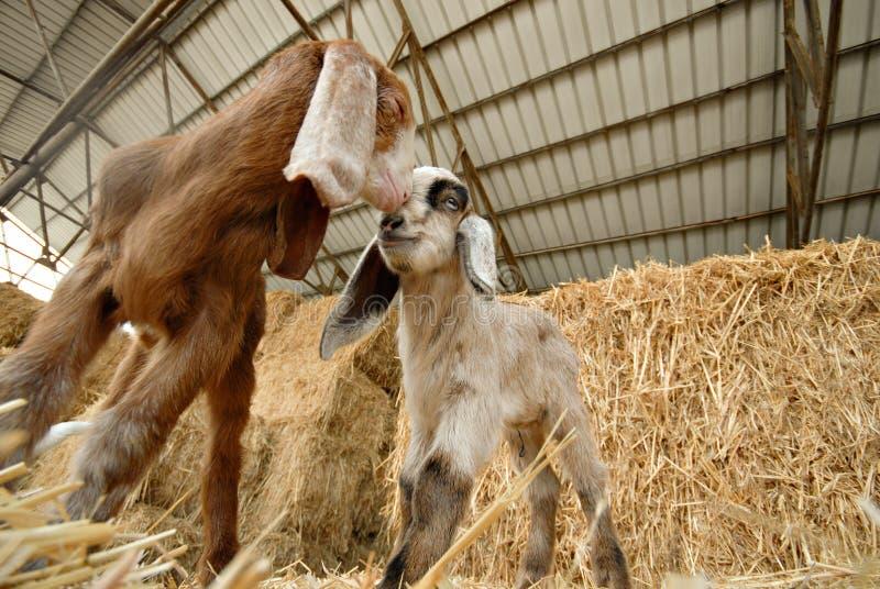 Chèvres de chéri image stock
