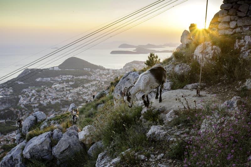 Chèvres de Dubrovnik image libre de droits