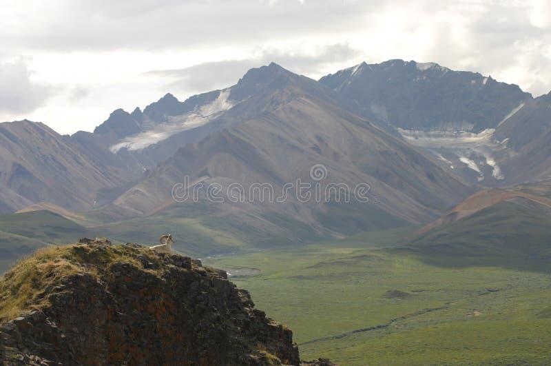 Chèvres De L Alaska Sauvages Photo libre de droits