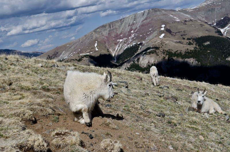 Chèvres de montagne photo libre de droits