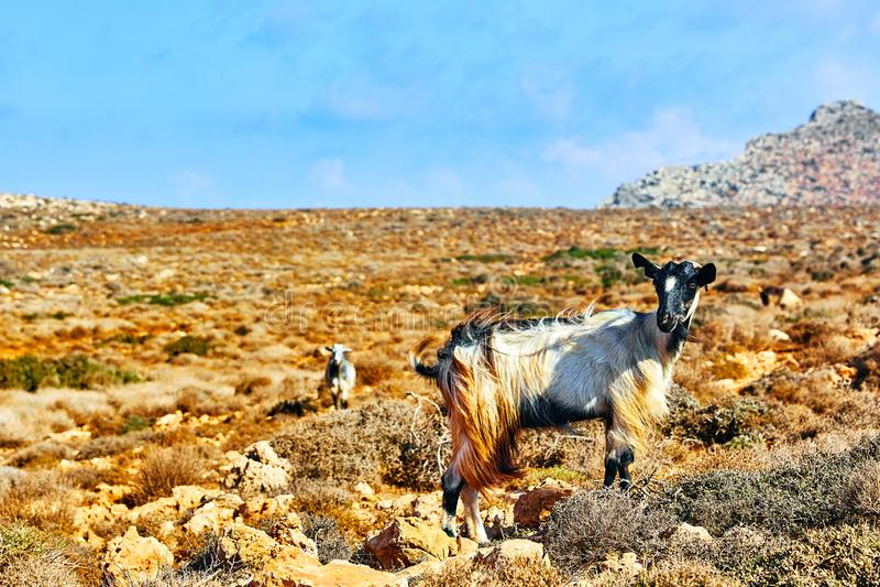 Chèvres de montagne dans les montagnes photographie stock libre de droits