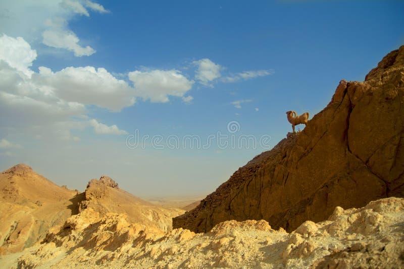 Chèvres de montagne en pierre dans la vallée photos stock