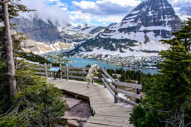 Chèvres de montagne et lac caché, parc national de glacier, Montana Etats-Unis images stock