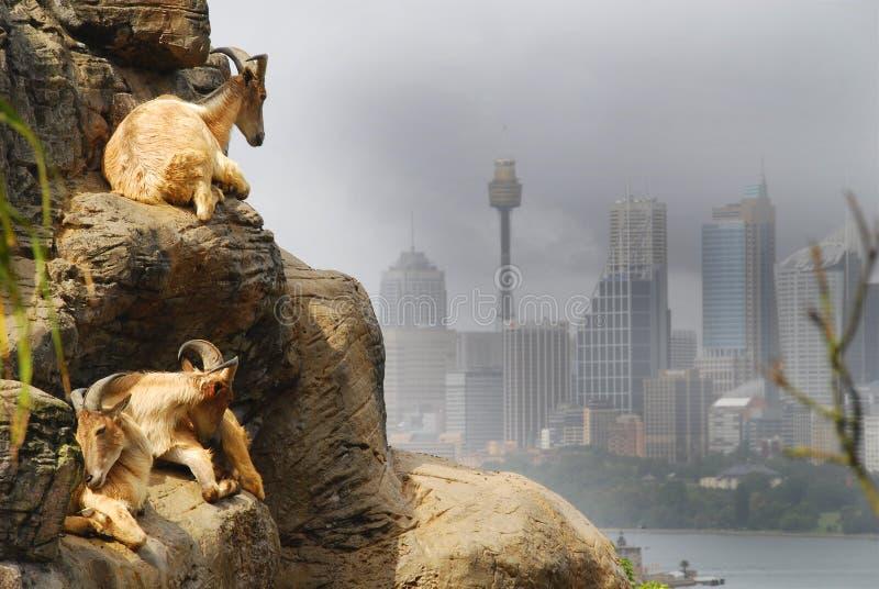 Chèvres de Sydney photo libre de droits