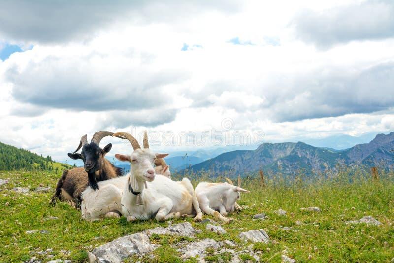 Chèvres domestiquées se reposant en nature entourée avec des montagnes, Bavière, Allemagne photographie stock