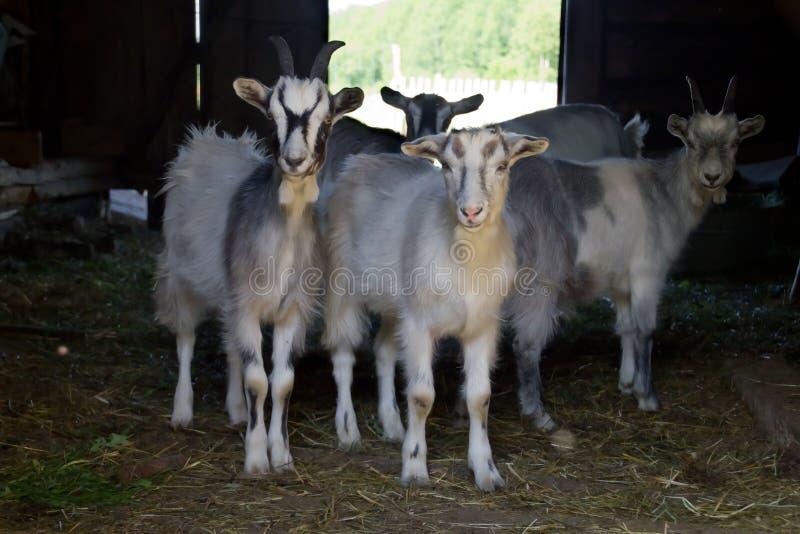 Chèvres domestiques photographie stock