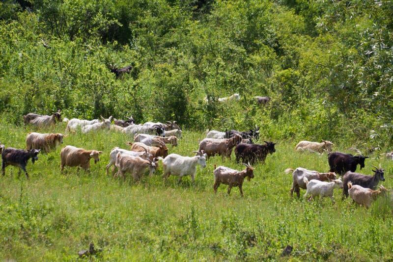 Chèvres entendues image libre de droits