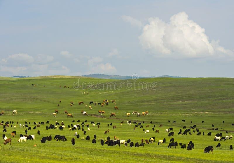 Chèvres et bétail frôlant dans la steppe mongole photographie stock libre de droits