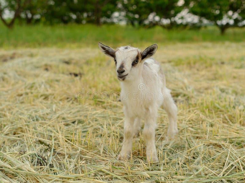 Chèvres frôlant sur l'herbe fraîche, basse photo grande-angulaire photos stock