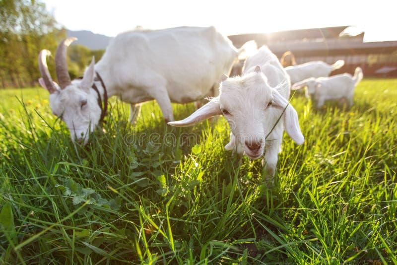 Chèvres frôlant sur l'herbe fraîche, basse photo grande-angulaire avec le contre-jour fort du soleil photo libre de droits