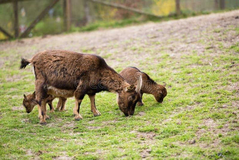 Chèvres frôlant sur un pré de ressort image libre de droits