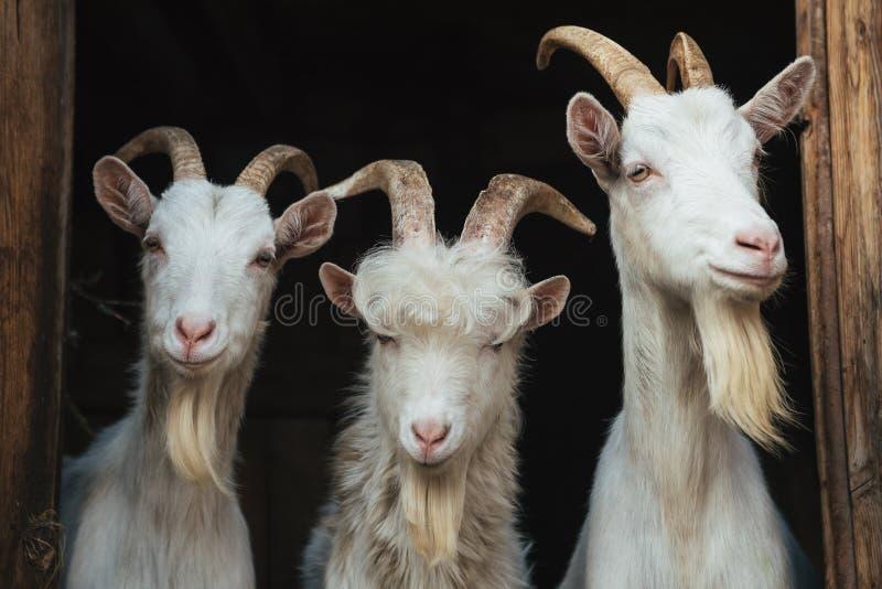 Chèvres raides images stock