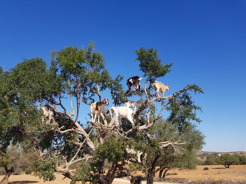 Chèvres sur l'arbre photo libre de droits